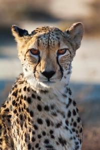 south africa, kruger national park, animals, mammals, predators, cheetahs