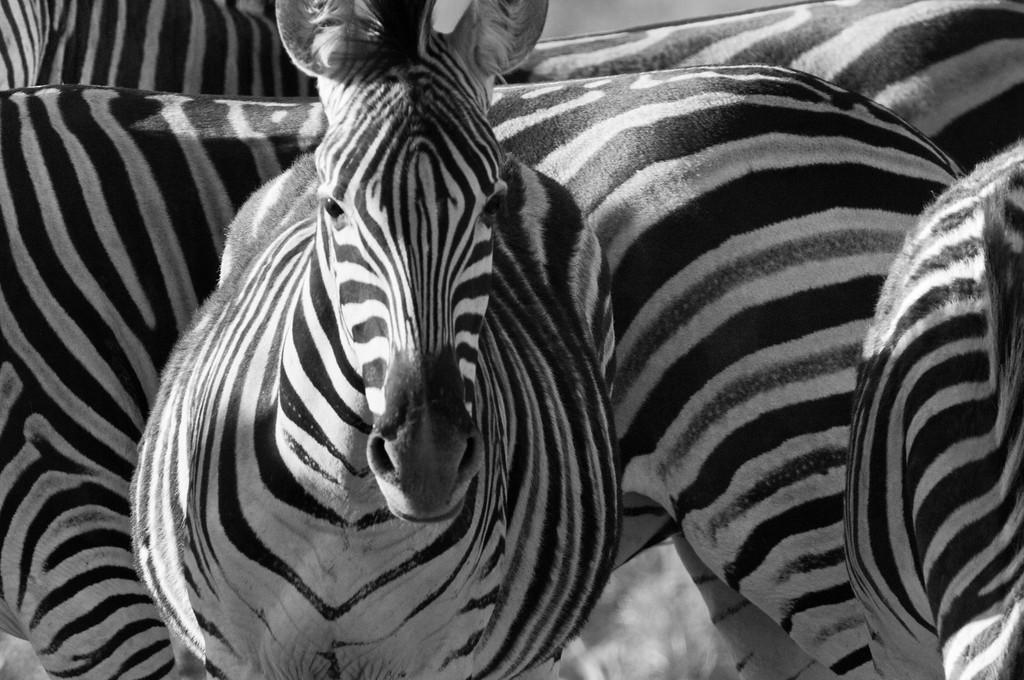 south africa, kruger national park, animals, mammals, ungulates, zebras