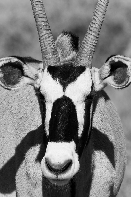 south africa, kruger national park, animals, mammals, ungulates, gemsbok