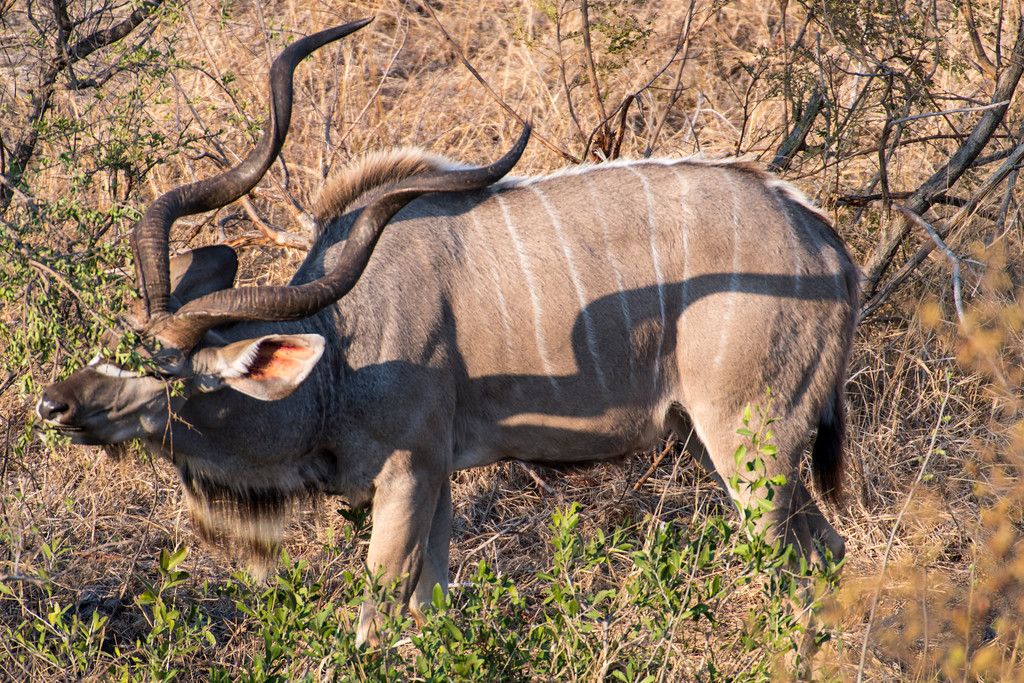 south africa, kruger national park, animals, mammals, ungulates, kudus