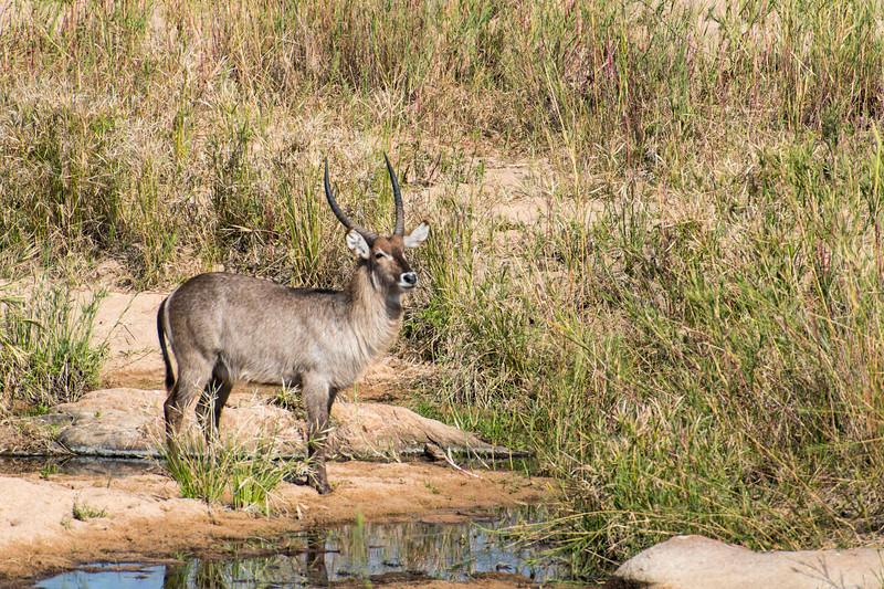south africa, kruger national park, animals, mammals, ungulates, bush buck