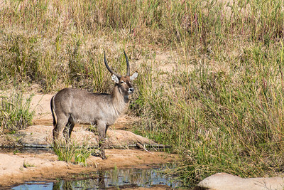 south africa, kruger national park, animals, mammals, ungulates, bush buck
