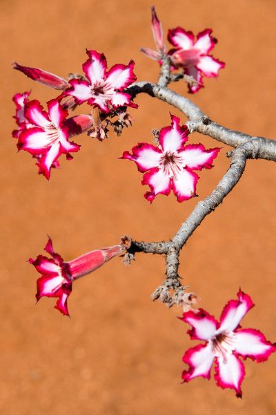 south africa, kruger national park, plants, flowers, lily