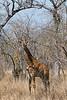 south africa, kruger national park, mammals, ungulates, giraffes