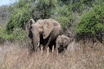 south africa, kruger national park, animals, mammals, ungulates, elephants