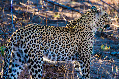 south africa, kruger national park, animals, mammals, predators, leopards