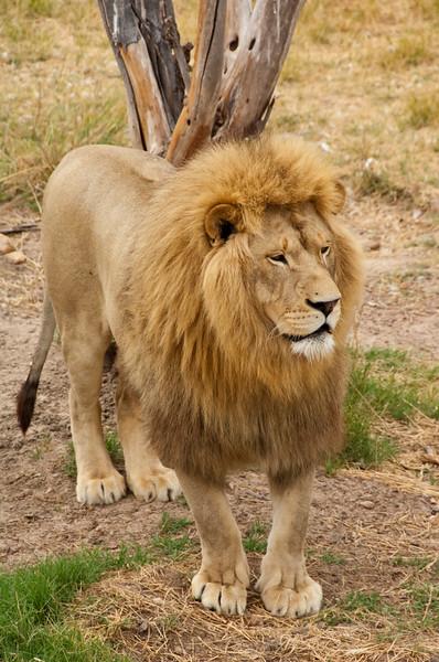 south africa, kruger national park, animals, mammals, predators, lions