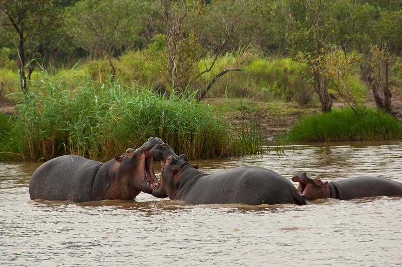 south africa, kruger national park, animals, mammals, ungulates, hippopotamus
