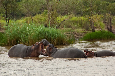 south africa, kruger national park, animals, mammals, ungulates, hippopotamus