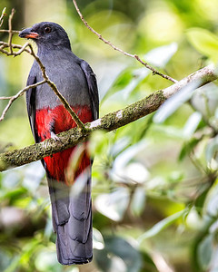 Female slaty tailed trogon