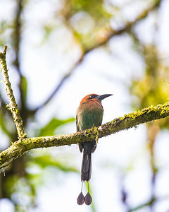 This is a broad billed motmot