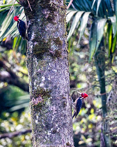 Pale billed woodpeckers there are many different woodpeckers in Costa Rica