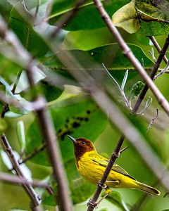 The mangrove warbler also known as the resident yellow warbler
