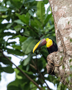 This is a chestnut mandibled toucan.  The outcropping on the tree below him is the nest.
