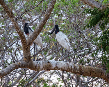 One of the rarer birds is the Jabiru only a few hundred pairs left at best.