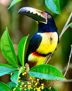 This is not a toucan, but a collared acari.  Often far away in the trees, this guy came right down to us in order to eat the berries on the tree.