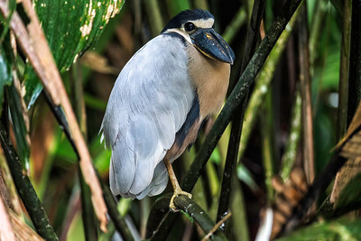 The boat billed heron