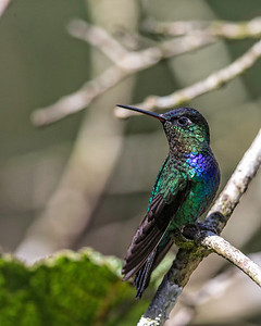 There are many different hummingbirds in Costa Rica.  All on the move and difficult to catch in focus especially with the narrow field of view of a telephoto lens.  This is a firey throated hummingbird.