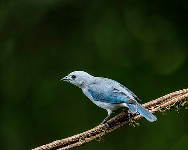 The blue and grey tanager