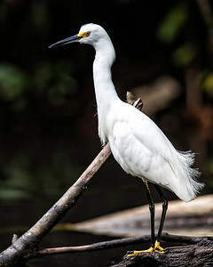 Snowy egret with distinctive black bill, black legs, but yellow feet.