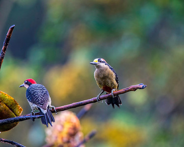 male and female black cheeked woodpeckers