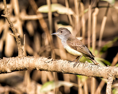 Cruising through a mangrove swamp by boat we spotted this panama flycatcher