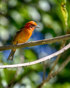The flame colored tanager, can't imagine why they call it that.....