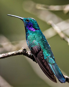 This is a violet eared hummingbird