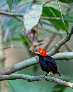 The red capped manakin.  What else could he be called?