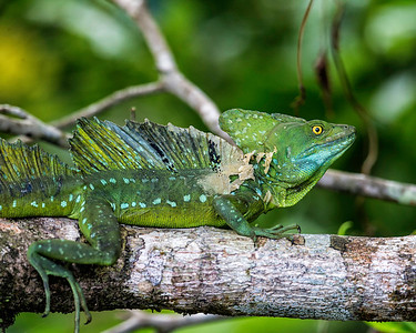 as do emerald basilisk lizards, ugly fellows