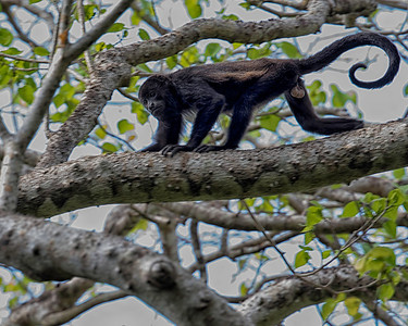 Uh Oh.  That's not a bird.  Howler monkey, and do they make noise!!