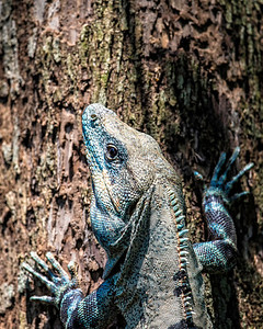 And of course Iguanas climb trees