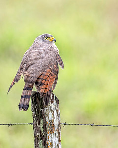 The ever present roadside hawk, in this case on a fence post at the roadside