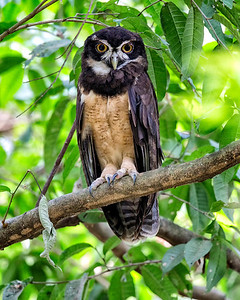 This is the spectacled owl.