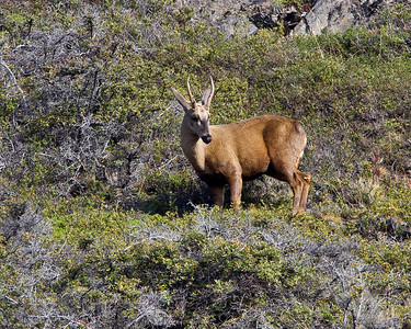 Huemul deer in Torres del Paine, rare, but nothing to look at