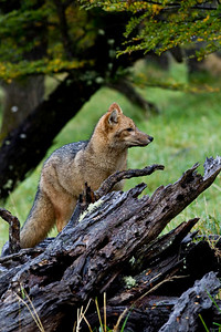 Grey fox near Lago Grey, Torres del Paine, Chile
