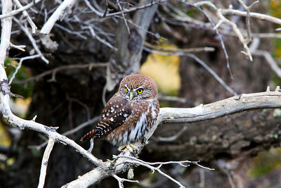 Pygmy Owl, Torres del Paine, Chile