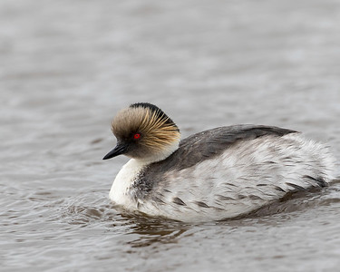 Silvery Grebes are a relatively rare bird elsewhere