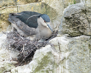 The black crowned night heron and gathered a real nest for the light blue egg you can just see under her if you look carefully