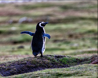 This is a magellanic penguin up enjoying a morning rain shower