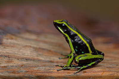 Ameerega trivittata (Three-striped Poison-dart Frog)