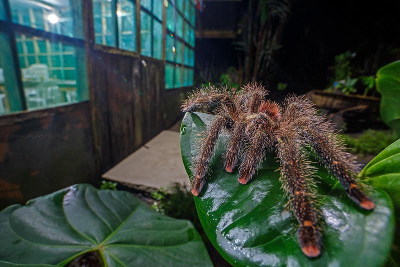 Genus / Avicularia