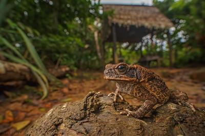 Cane toad ( Bufo marinus )