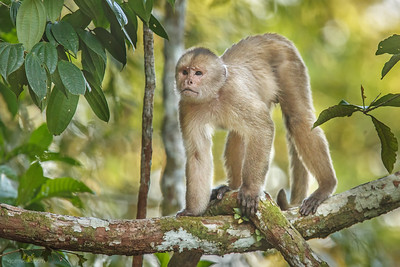 The white-fronted capuchin (Cebus albifrons)