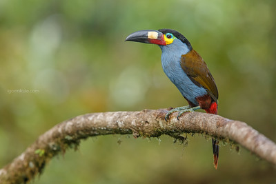 The plate-billed mountain toucan (Andigena laminirostris)