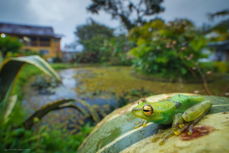 Palm Treefrog ( Boana pellucens )
