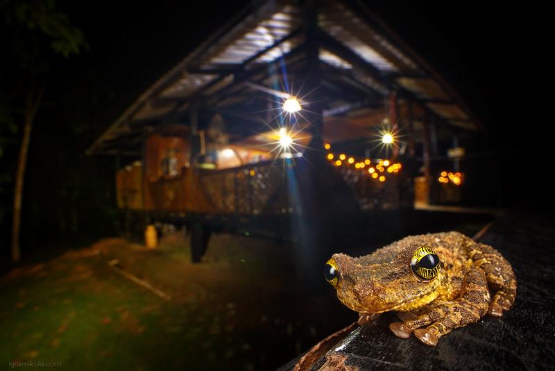 Slender-legged tree frog ( Osteocephalus taurinus. )
