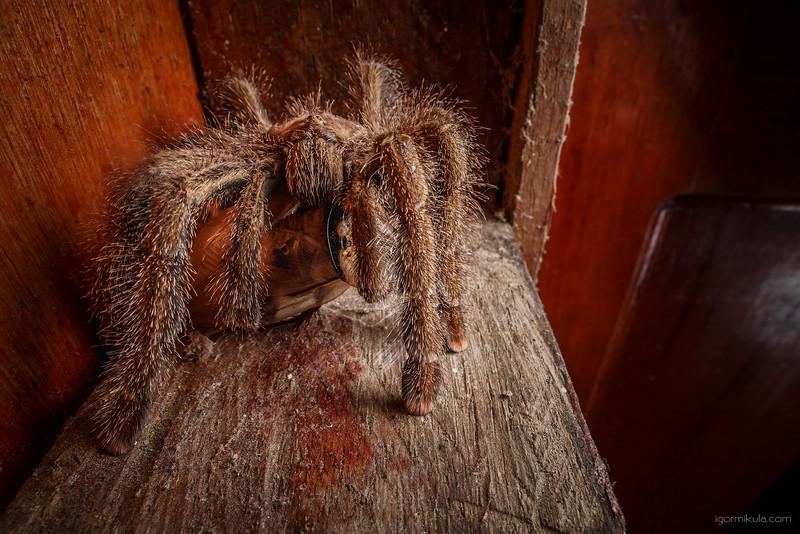 Tarantula / genus -Avicularia