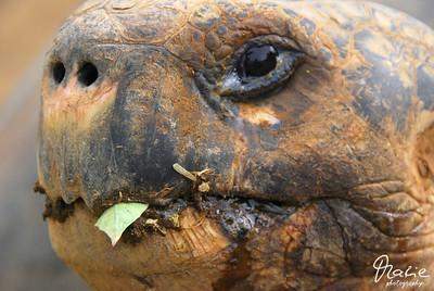 schildkröte isla isabella galapagos