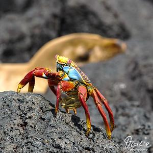 krabbe vor seelöwe floreana galapagos